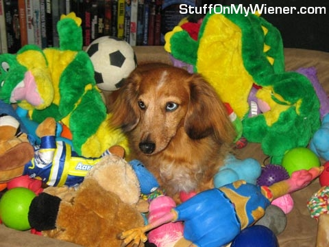 Baron in a bed of toys.