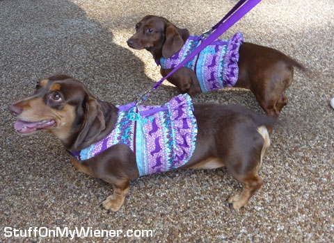 Emmy and Cocoa in new harnesses.